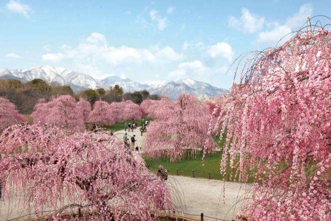 &nbspO belo festival de flores de ameixeira em Suzuka