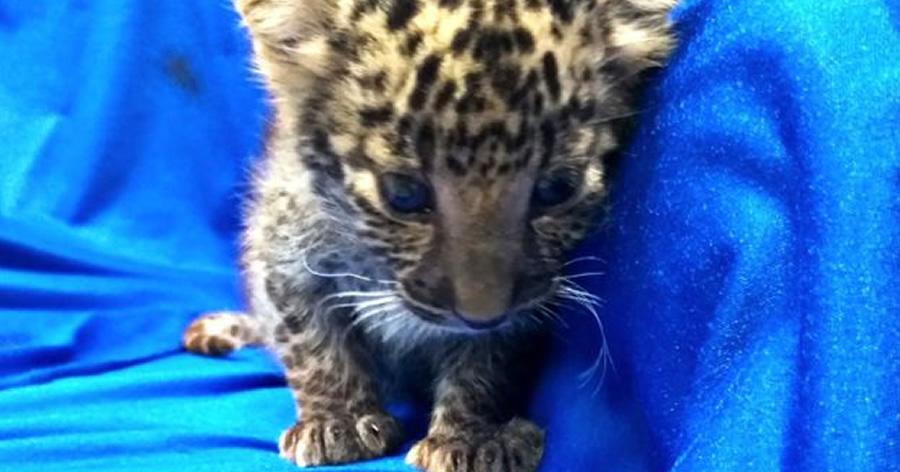 &nbspFilhote de leopardo é encontrado dentro da mala de passageiro em aeroporto