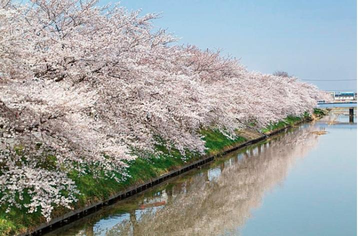 &nbspPrincipais points de sakura em Saitama